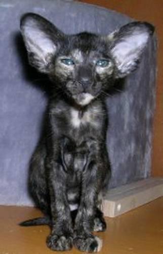 ориентальная кошка фото.