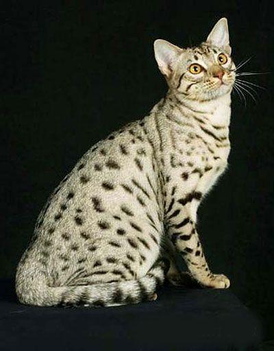 оцикет кошка фото