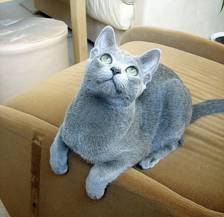 русской голубой породы кошек