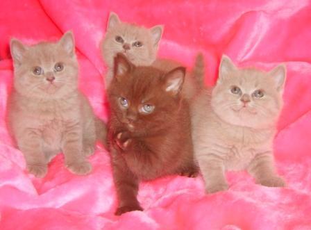 Британские котята лилового и шоколадного окраса-Девочки.